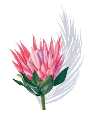 Illustration of native cape flora