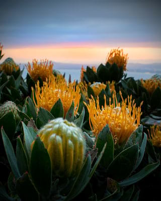 Flora close up at dawn in Cape Town, South Africa