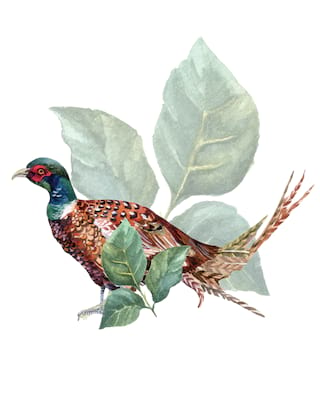 Illustration of a pheasant