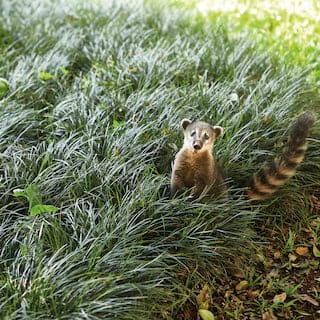 Small coati peering up into the camera from among a grassy lawn
