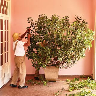 Gardener shearing a large shrub with clippers, in front of a salmon pink wall