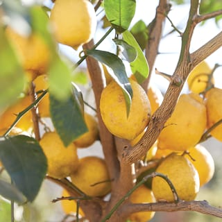Close-up of ripe lemons hanging from the branches of a lemon tree