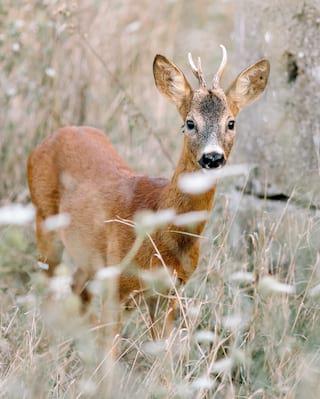 Close-up of a red deer among tall grass facing the camera