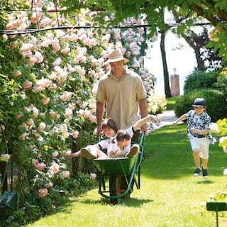 Gardener carrying kids in a wheelbarrow past rows of roses
