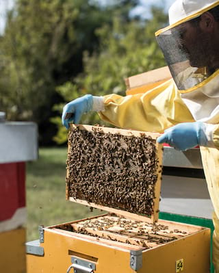 A honeycomb covered in bees being lifted by someone in a yellow bee suit