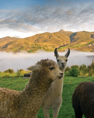 Two smiling alpacas in a sunny Peruvian valley