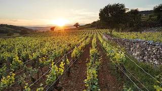 Lush green vineyards stretching towards the horizon during an orange sunset