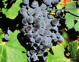 Vineyards and Wines of Mount Etna