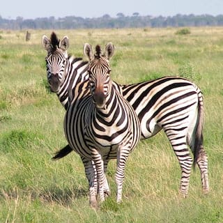 Two zebras looking at the camera with lush grasslands in the background