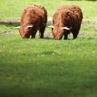 Two woolly highlands cows bending to eat grass in a lush field