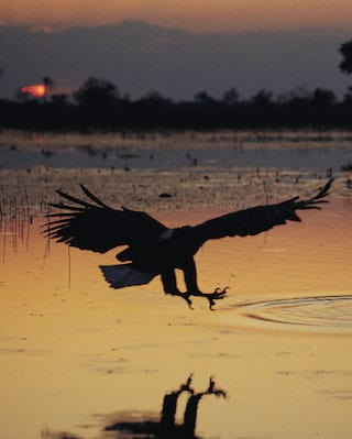 The silhouette of an eagle at sunset swooping down towards wetlands