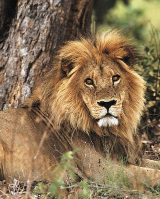 Close-up of a male lion relaxing under a tree and looking at the camera
