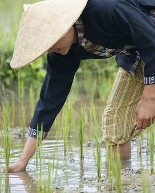 Close-up of a farmer planting rice in a Laotian rice paddy