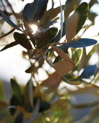 Close-up of olive tree leaves illuminated by sun rays