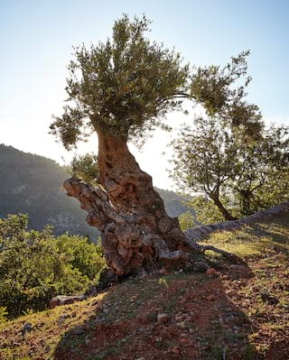 Gnarled old olive trees lining a pathway overlooking the Tramuntana mountains