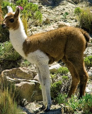 Tan and white baby alpaca standing against a rocky background