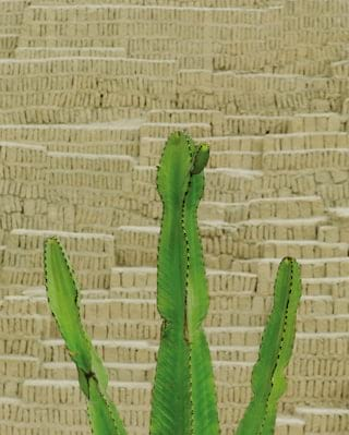 Close-up of a cactus against an Inca wall