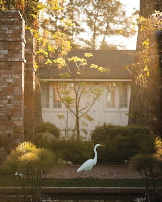 White heron bird strolling beside a lily pond at sunset