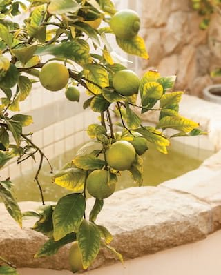 Lemons and water fountain