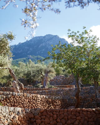 Lush olive trees in a stone-walled olive grove with a mountain backdrop