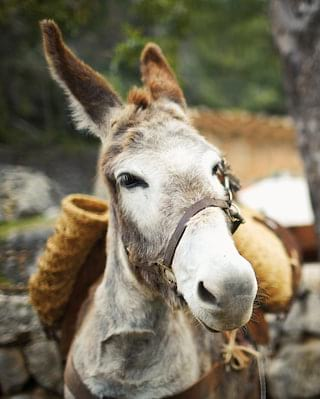 Close-up of a donkey wearing a pack standing next to a stone wall