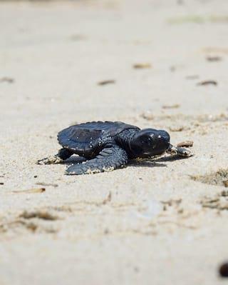 sea turtle on the beach