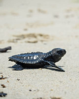 Turtle crawling along the beach in Bali