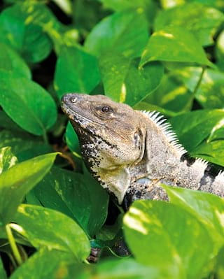 Side-view of an iguana hiding in jungle leaves