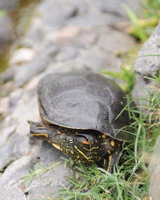 Close-up of a tortoise on a rocky shelf