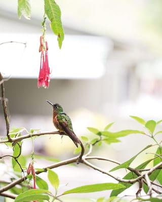 Hummingbird reaching up toward pink hanging flowers