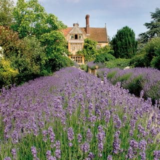 Rows of lavender leading to a rural manor house