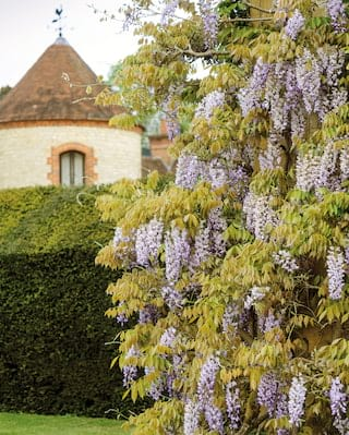 Blooms of wisteria on a garden wall with a circular brick tower in the background
