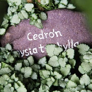 Stone buried among mint leaves with 'Cedrón' carved on the top