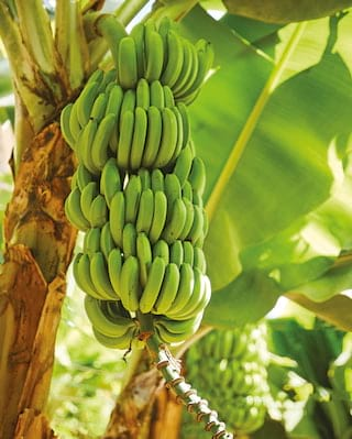 Close-up of a large bunch of green bananas hanging from a tree