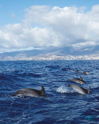 View from across the water of a pod of dolphins leaping above the waves