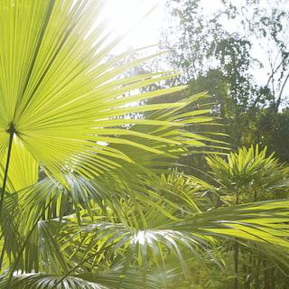 Sun shining through fan palm leaves in a garden