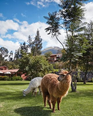 One brown and one white alpaca snacking on a manicured lawn