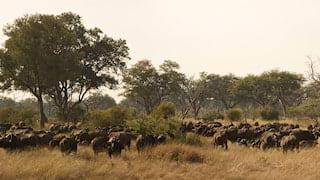 A herd of cape buffalo migrating through grasslands