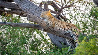 Spotted leopard relaxing in a tree