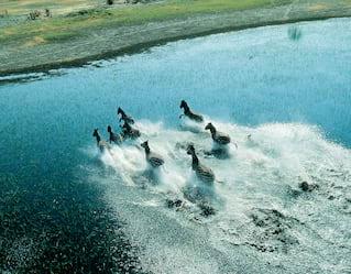 Aerial view of zebras running across wetlands in Botswana