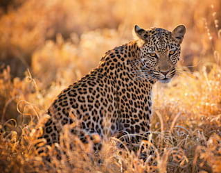 Leopard sitting among tall grass and facing the camera