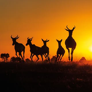 Silhouettes of a herd of impalas leaping through grasslands against a fiery sunrise