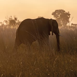 Lone elephant strolling among tall grass on a misty morning at sunrise