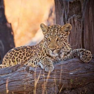 Lone leopard perching on a fallen tree branch among grasslands