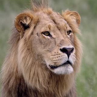Close-up of a male lion facing towards the camera, pictured among grasslands