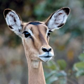 Close-up of a steenbok with a surprised expression facing towards the camera