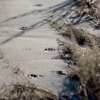 Big cat footprints on a sandy strip of grasslands in the Moremi Reserve