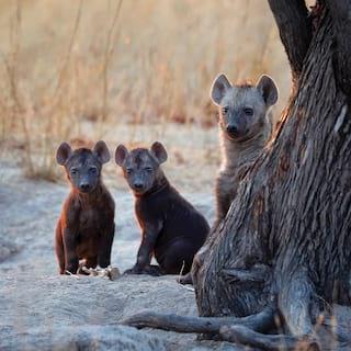Three hyena cubs facing towards the camera among grasslands at sunset