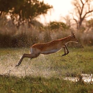 Impala leaping across a water logged grassy plain