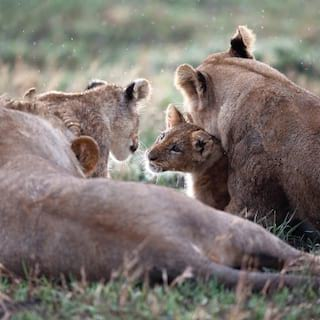 Family of lions, including a cub nestling into its mother